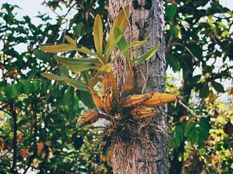 В дикой природе орхидеи растут прямо на деревьях. Сообщество ценителей орхидей Orchidroom.ru. Пересадка и уход за орхидеями, купить орхидею..