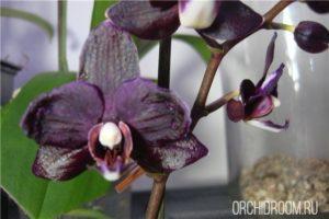 Фаленопсис Black Butterfly - неприхотливая долгоцветущая орхидея для новичка