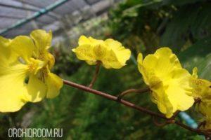 Онцидиум Onusta - неприхотливая, красивая орхидея подходящая новичку
