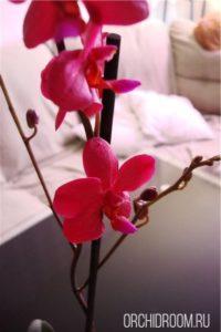 Фаленопсис Piccolo Red - неприхотливая долгоцветущая орхидея для новичка
