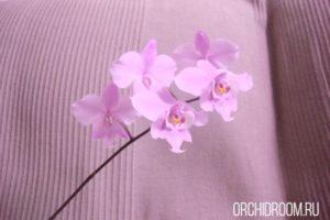 Фаленопсис Shilleriana - неприхотливая орхидея для новичка