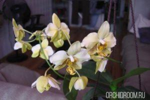 Фаленопсис Stuartiana var. Yellow - неприхотливая долгоцветущая орхидея для новичка
